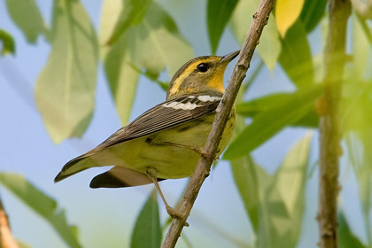 Blackburnian Warbler Photo @ Kiwifoto.com