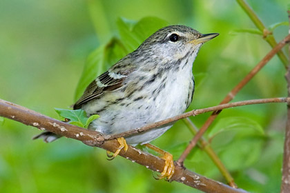 Blackpoll Warbler Photo @ Kiwifoto.com