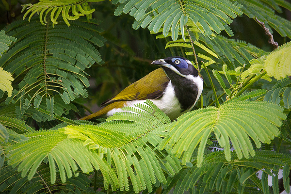 Blue-faced Honeyeater Image @ Kiwifoto.com