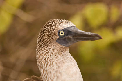 Blue-footed Booby Image @ Kiwifoto.com