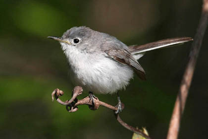 Blue-gray Gnatcatcher Picture @ Kiwifoto.com