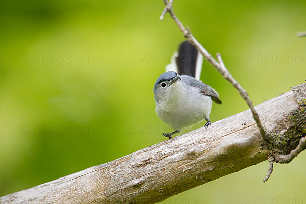 Blue-gray Gnatcatcher Image @ Kiwifoto.com