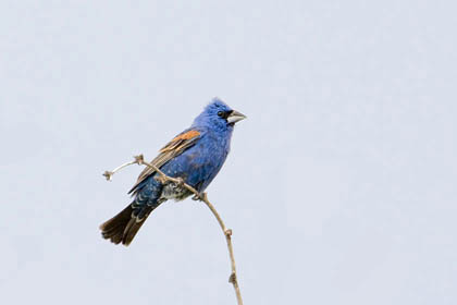 Blue Grosbeak Picture @ Kiwifoto.com