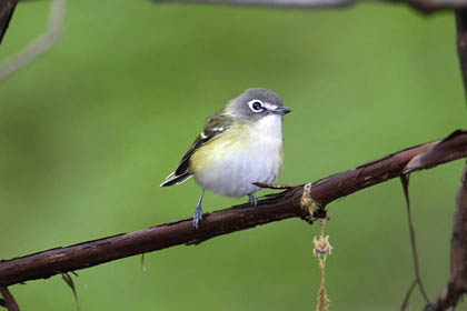 Blue-headed Vireo Photo @ Kiwifoto.com