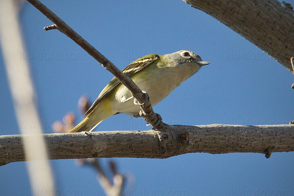 Blue-headed Vireo Picture @ Kiwifoto.com