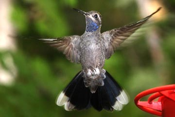 Blue-throated Hummingbird Picture @ Kiwifoto.com