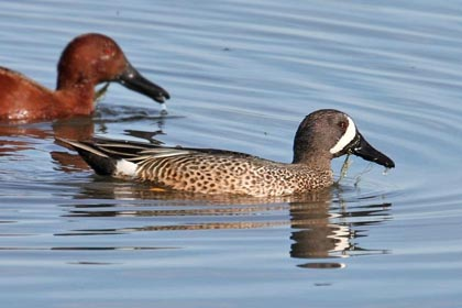 Blue-winged Teal Picture @ Kiwifoto.com