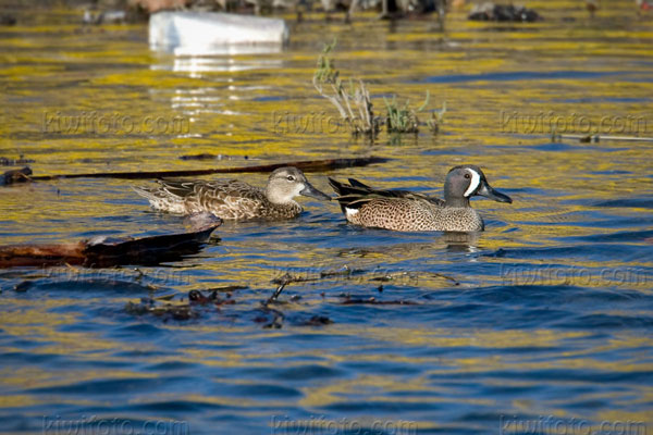 Blue-winged Teal Photo @ Kiwifoto.com