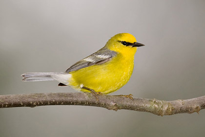 Blue-winged Warbler Picture @ Kiwifoto.com