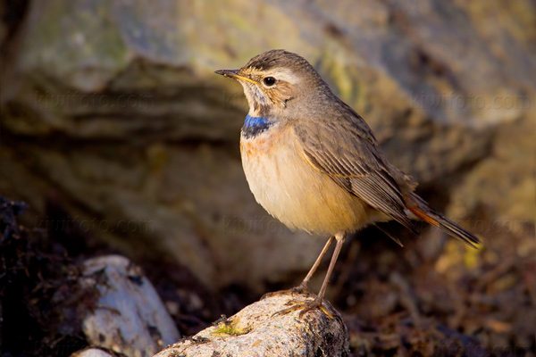 Bluethroat Picture @ Kiwifoto.com