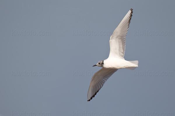 Bonaparte's Gull @ Ballona Creek, CA