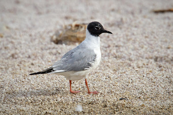 Bonaparte's Gull @ Salt Creek, Salton Sea, CA