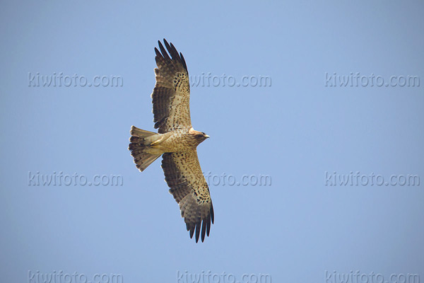 Booted Eagle Picture @ Kiwifoto.com