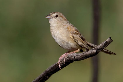 Botteri's Sparrow Photo @ Kiwifoto.com