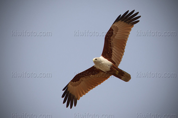 Brahminy Kite Photo @ Kiwifoto.com