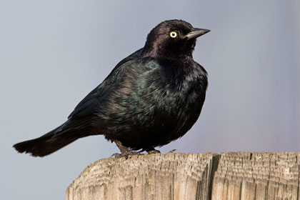 Brewer's Blackbird Picture @ Kiwifoto.com