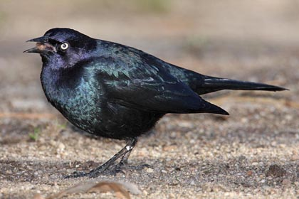 Brewer's Blackbird Photo @ Kiwifoto.com