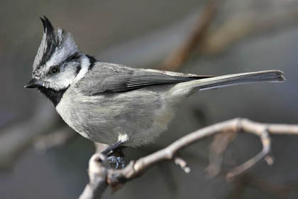 Bridled Titmouse Photo @ Kiwifoto.com