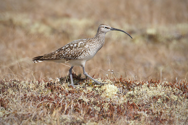 Bristle-thighed Curlew Photo @ Kiwifoto.com