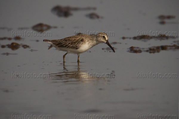 Broad-billed Sandpiper Photo @ Kiwifoto.com