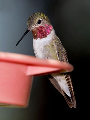 Broad-tailed Hummingbird Picture @ Kiwifoto.com