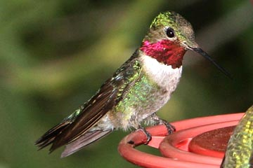 Broad-tailed Hummingbird Photo @ Kiwifoto.com