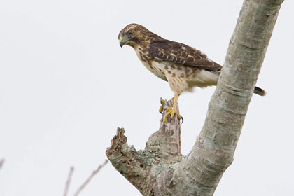 Broad-winged Hawk Picture @ Kiwifoto.com