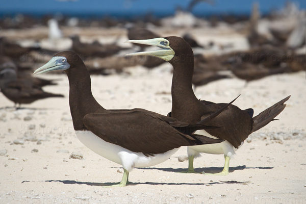 Brown Booby Photo @ Kiwifoto.com