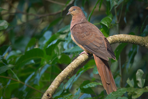 Brown Cuckoo-Dove Video