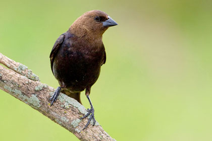 Brown-headed Cowbird Photo @ Kiwifoto.com