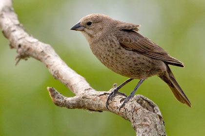 Brown-headed Cowbird Image @ Kiwifoto.com