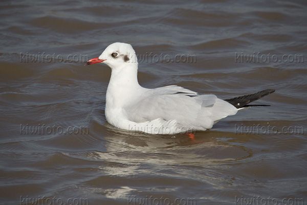 Brown-headed Gull Picture @ Kiwifoto.com