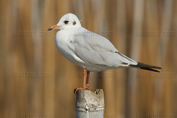 Brown-headed Gull Image @ Kiwifoto.com