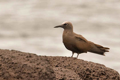 Brown Noddy Image @ Kiwifoto.com