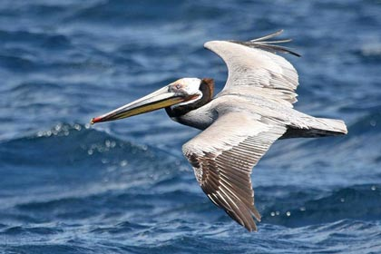 Brown Pelican Photo @ Kiwifoto.com