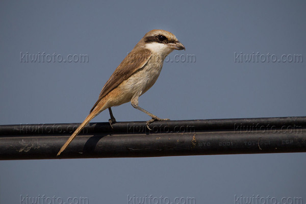 Brown Shrike Photo @ Kiwifoto.com