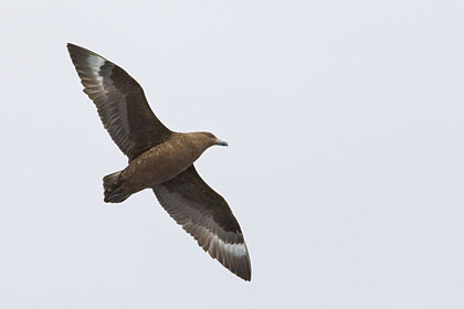 Brown Skua Picture @ Kiwifoto.com