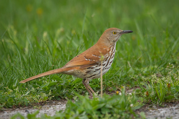 Brown Thrasher Image @ Kiwifoto.com