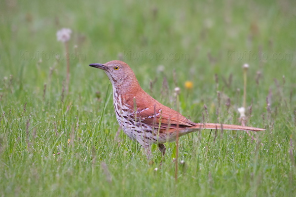 Brown Thrasher Photo @ Kiwifoto.com