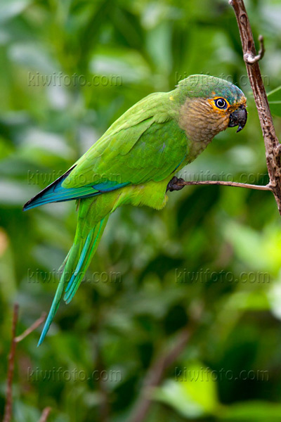 Brown-throated Parakeet Picture @ Kiwifoto.com