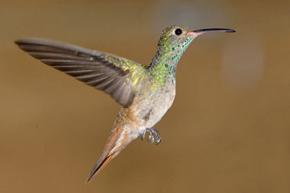 Buff-bellied Hummingbird Image @ Kiwifoto.com