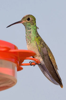 Buff-bellied Hummingbird Picture