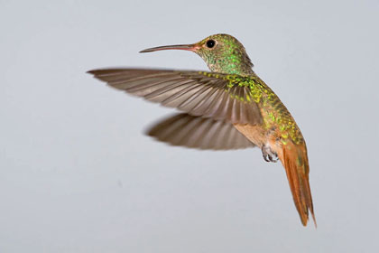 Buff-bellied Hummingbird Photo @ Kiwifoto.com