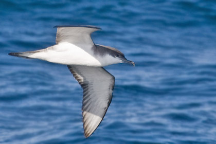 Buller's Shearwater Photo @ Kiwifoto.com