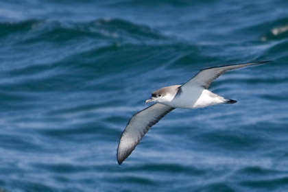 Buller's Shearwater Picture