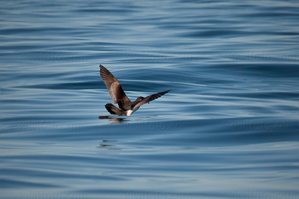 Buller's Shearwater Picture @ Kiwifoto.com