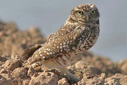 Burrowing Owl Picture @ Kiwifoto.com