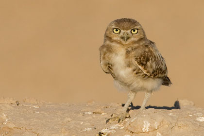 Burrowing Owl (juvenile)