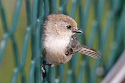 Bushtit Photo @ Kiwifoto.com