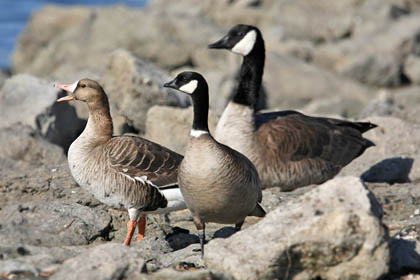 Greater White-fronted Goose, Cackling Goose, Canada Goose